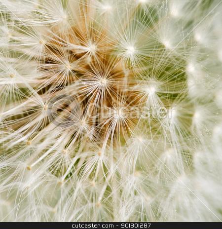 Dandelion Background stock photo, Dandelion seed background macro texture by Tyler Olson