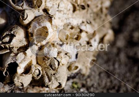 Sea Acorn Colony stock photo, A dried sea acorn colony macro on a stone by Tyler Olson