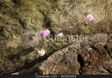 Thrift flower stock photo, Bright pink Thrift flower - Sea Pink Armeria maritima by Tyler Olson