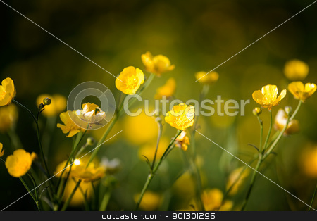 Buttercup stock photo, Buttercup flower background - a yellow wildflower by Tyler Olson