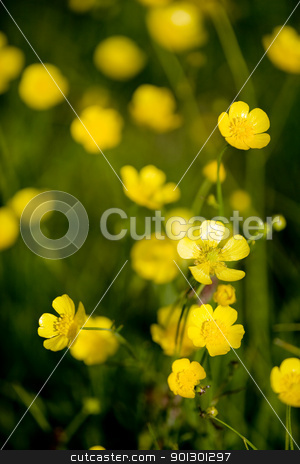 Buttercup Flower stock photo, A yellow flower background of buttercup - Latin: Ranunculus bulbosus by Tyler Olson