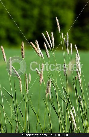 Wild Grass Background stock photo, Wild grass on a green background - Timothy-grass (Phleum pratense) by Tyler Olson