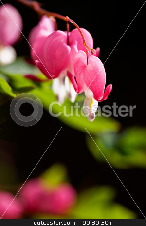 Bleeding Heart stock photo, Bleeding Heart flower macro by Tyler Olson