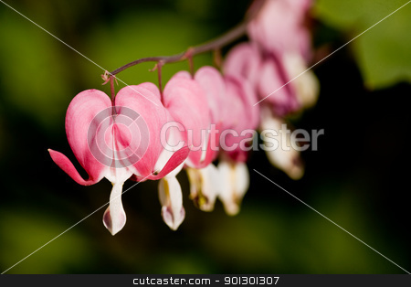 Bleeding Heart Flower stock photo, Bleeding Heart Macro - latin: dicentra formosa by Tyler Olson