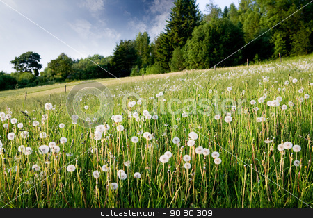 Dandelion Field stock photo, A field of dandelions in nature by Tyler Olson
