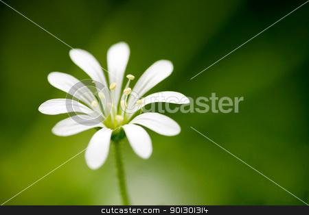White Flower Macro stock photo, Macro of a small flower, Wood Stitchwort - Stellaria nemorum by Tyler Olson