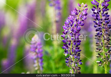 Purple Lupin Flower stock photo, A macro detail of a purple flower - Lupinus, Lupin by Tyler Olson