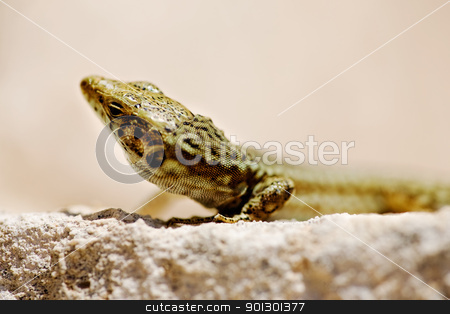 Small Lizard stock photo, A small lizard in the wild by Tyler Olson