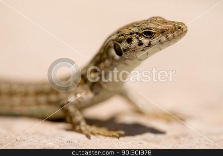 Lizard Macro stock photo, A detail of a maltese wall lizard by Tyler Olson
