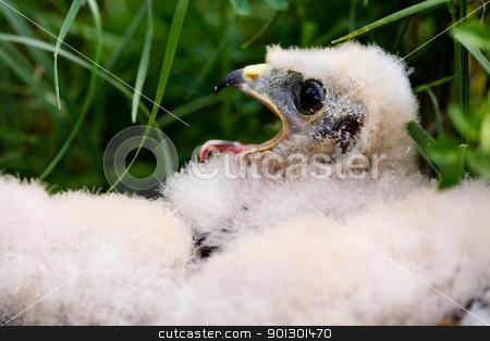 Prairie Falcon Chick stock photo, Prairie Falcon chick (Falco mexicanus) in a nest by Tyler Olson
