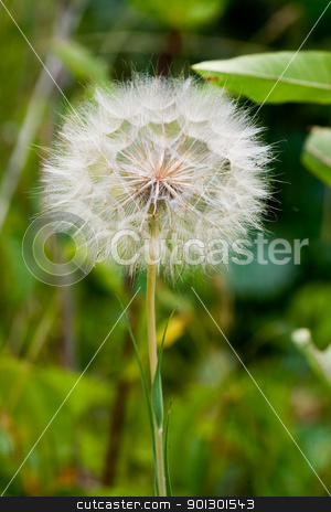 Dandelion stock photo, A dandelion in the wild by Tyler Olson