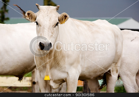White Cow stock photo, A white Chianina cow looking at the camera by Tyler Olson