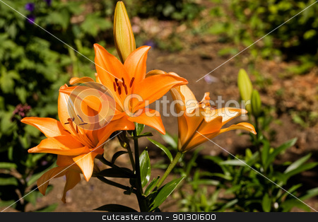 Orange Lilly stock photo, An orange lilly in a garden by Tyler Olson