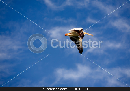 Pelican in Flight stock photo, A pelican bird in flight by Tyler Olson