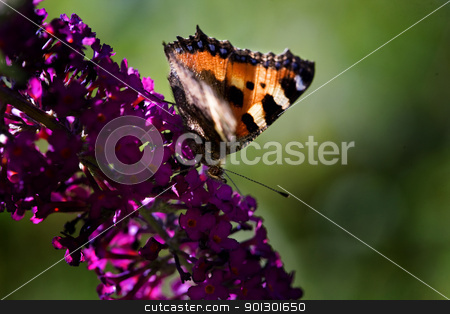 Butterfly stock photo, Tortoiseshell Butterfly Nymphalis urticae on a purple plant summer lilac - buddleja davidii by Tyler Olson