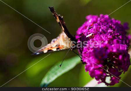 Buttefly on Purple Plant stock photo, Tortoiseshell Butterfly Nymphalis urticae on a purple plant summer lilac - buddleja davidii by Tyler Olson