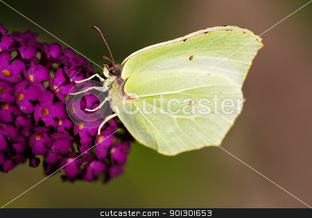 Brimstone Butterfly stock photo, Brimestone Butterfly -  Gonepteryx  rhamni  on a purple summer lilac - buddleja davidii by Tyler Olson