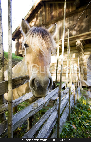 Norwegian Fjord Horse stock photo, A close up image of a horse in Norway by Tyler Olson