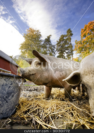 Pig at Water Bowl stock photo, A curious pig at a watering bowl by Tyler Olson