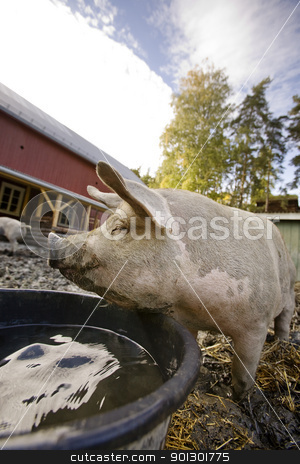 Content Pig stock photo, A content pig by a water bowl by Tyler Olson