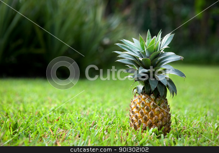 Fresh Pineapple stock photo, Fresh pineapple sitting in a garden on grass by Tyler Olson