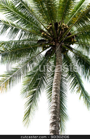 Isolated Palm Tree stock photo, An isolated palm tree over white by Tyler Olson