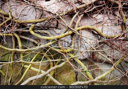Vine on Rock stock photo, A vine on a rock with no leaves by Tyler Olson