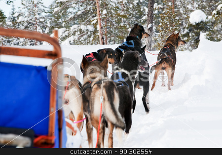 Dog Sled Team stock photo, Sled dogs harnessed up, ready to run by Tyler Olson