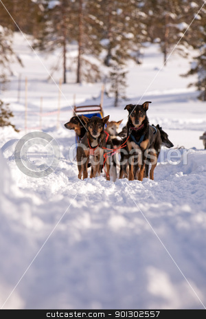 Dog Sled stock photo, Sled dogs waiting in a winter landscape by Tyler Olson
