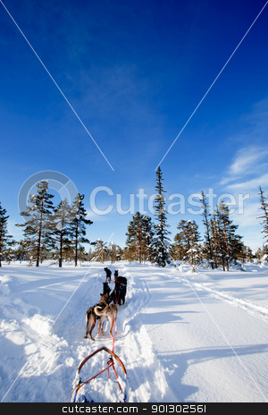 Dog Sled Team stock photo, A team of sled dogs ready to pull by Tyler Olson