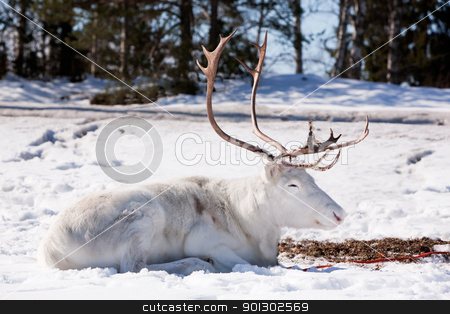 Reindeer stock photo, A reindeer laying down sleeping in the snow by Tyler Olson