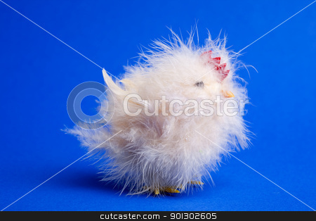 Little Chick stock photo, A funny little chicken isolated on a blue background by Tyler Olson