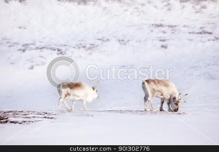 Reindeer stock photo, Two reindeer on the island of Spitsbergen, Svalbard, Norway by Tyler Olson