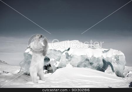 Polar Bear stock photo, A polar bear in a wild natural setting, Svalbard, Norway by Tyler Olson
