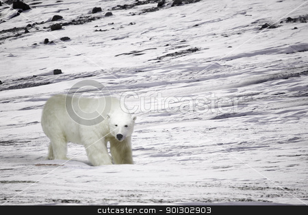 Polar Bear stock photo, A polar bear in a wild natural setting, Svalbard, Norway by Tyler Olson