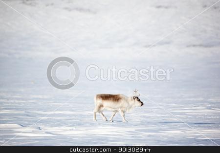 Reindeer stock photo, A reindeer on the island of Spitsbergen, Svalbard, Norway by Tyler Olson