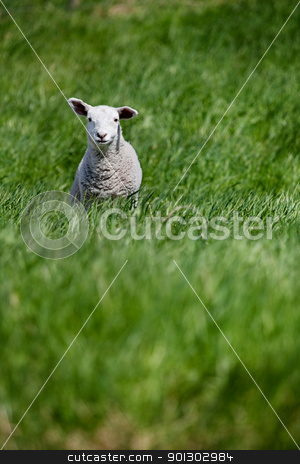 Lamb stock photo, A young lamb isolated in a pasture of green grass by Tyler Olson
