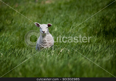 Lamb stock photo, A lamb isolated against a green meadow by Tyler Olson