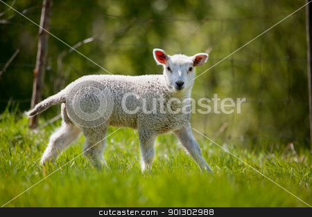 Spring Lamb stock photo, A lamb in a green pasture looking at the camera by Tyler Olson