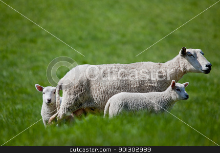 Ewe with two Lambs stock photo, A ewe with two lambs isolated against green grass by Tyler Olson