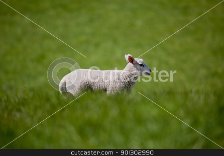 Running Lamb stock photo, A lamb running in a green meadow of grass by Tyler Olson