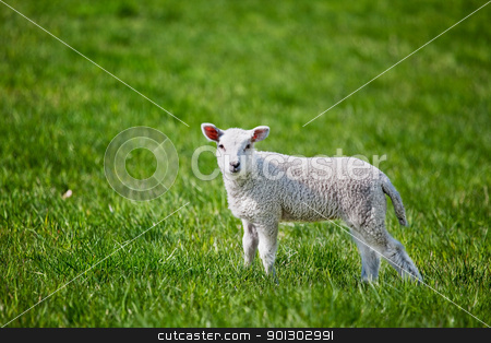 Lamb stock photo, A small spring lamb isolated on green grass by Tyler Olson