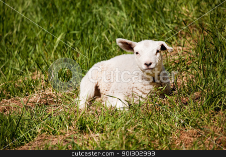 Resting Sheep stock photo, A sheep resting in a grass pasture. by Tyler Olson