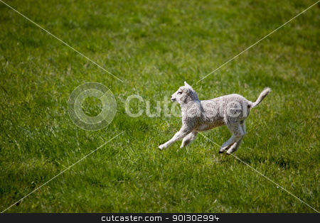 Lamb Jump stock photo, A young lamb running and jumping in a green field. by Tyler Olson