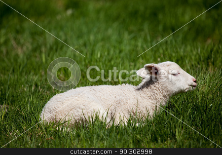 Sleep Lamb stock photo, A happy lamb laying in a pasture of grass by Tyler Olson