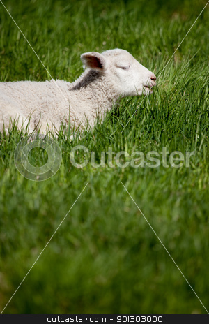 Lamb Smile stock photo, A happy smiling lamb in a bed of green grass by Tyler Olson