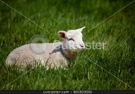 Happy Lamb stock photo, A happy lamb laying in a pasture of grass by Tyler Olson