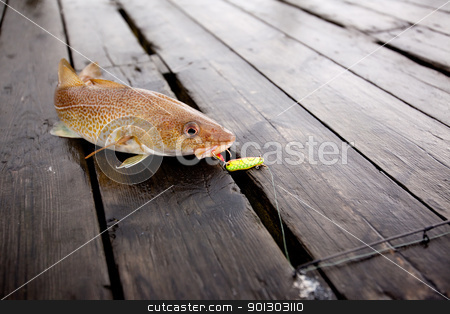 Cod Fish stock photo, A fresh caught cod fish with hook in it's mouth by Tyler Olson