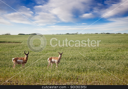 Antelope stock photo, Prong Horned antelope in a field in rural Saskatchean. by Tyler Olson