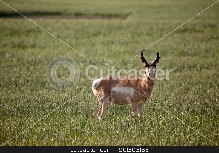 Pronghorn Antelope stock photo, Pronghorn antelope in a field in rural Saskatchean. by Tyler Olson